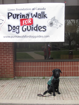Black lab Romero is sitting on the stone pathway out front of the Dog Guides training facility. He is wearing his green future dog guide jacket and a red and black training leash. He is looking very proper, sitting up straight and facing the camera, with his eyes like little black marbles. Above him, hanging from the overhang of the red brick building is a large white banner advertising the Purina Walk for Dog Guides.