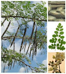 Moringa Oleifera tree and drumsticks