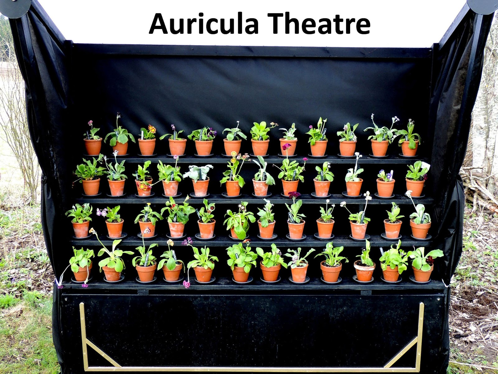 Sweden's auricula club: february 2013