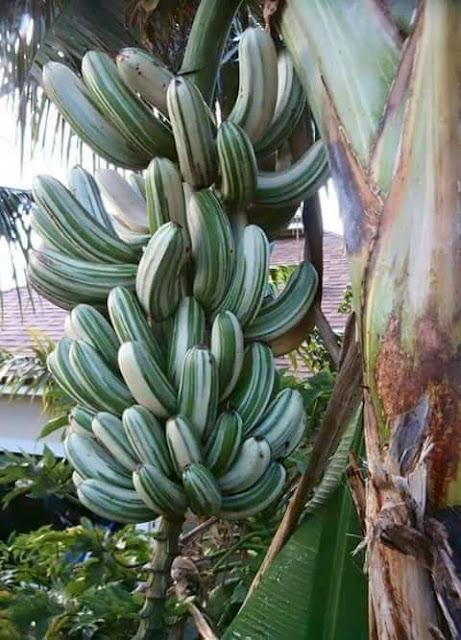 3 foto unik pisang batik , pisang batik , gambar pisang batik