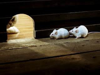 White Mice Wallpapers