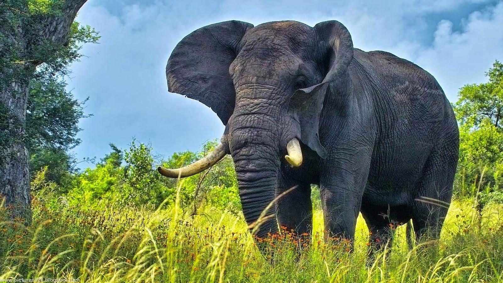 elephant desktop wallpaper