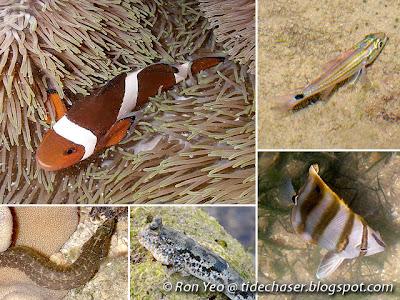 Perciformes Fishes (Order Perciformes)