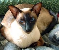 Kucing Siam ~ Tip dan Trik Merawat Hewan Peliharaan Dengan ...