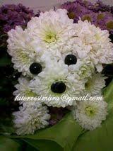 Cachorrinho Poodle de Crisântemos brancos