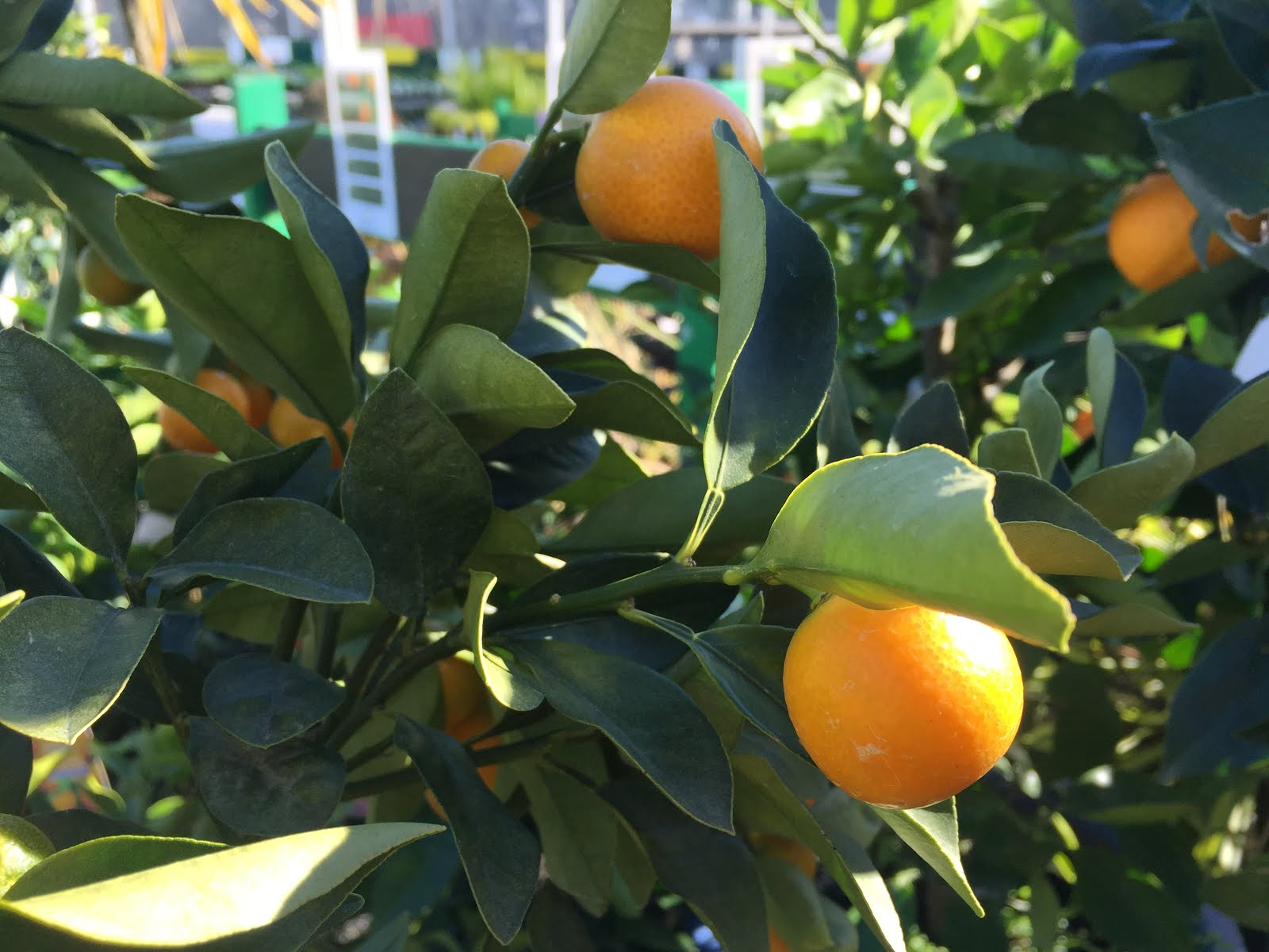 citrus enthusiast kumquats