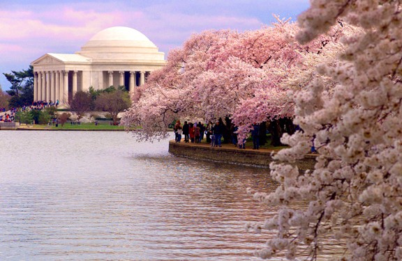 cherry tree blossom festival. cherry tree blossoms