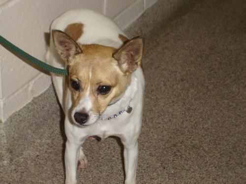 Adult chihuahua jack russell terrier mix russell terrier mix who