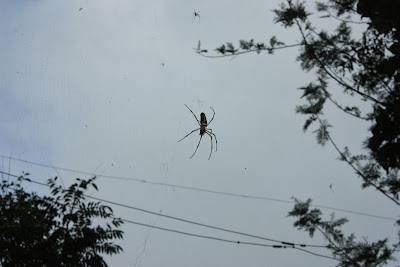 A giant wood spider in the forests of BRT tiger reserve, Karnataka, India