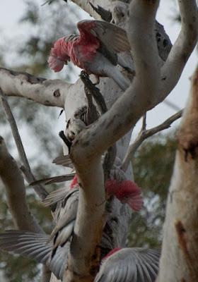 Galah (Eolophus roseicapilla)