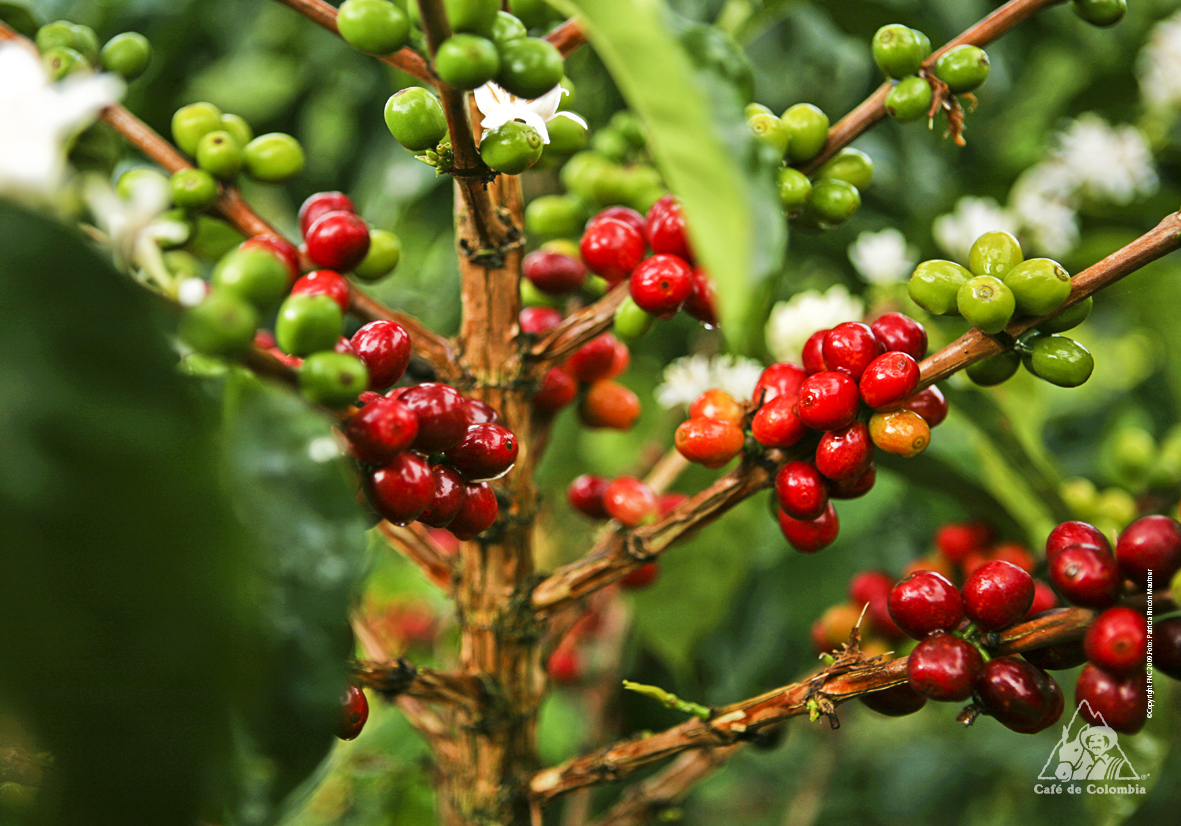 EL CAFE : TAXONOMIA DEL CAFE