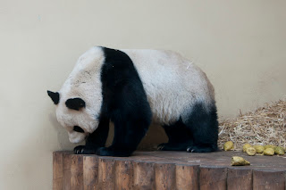 cute panda bear photos
