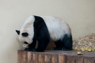 cute panda bear photos
