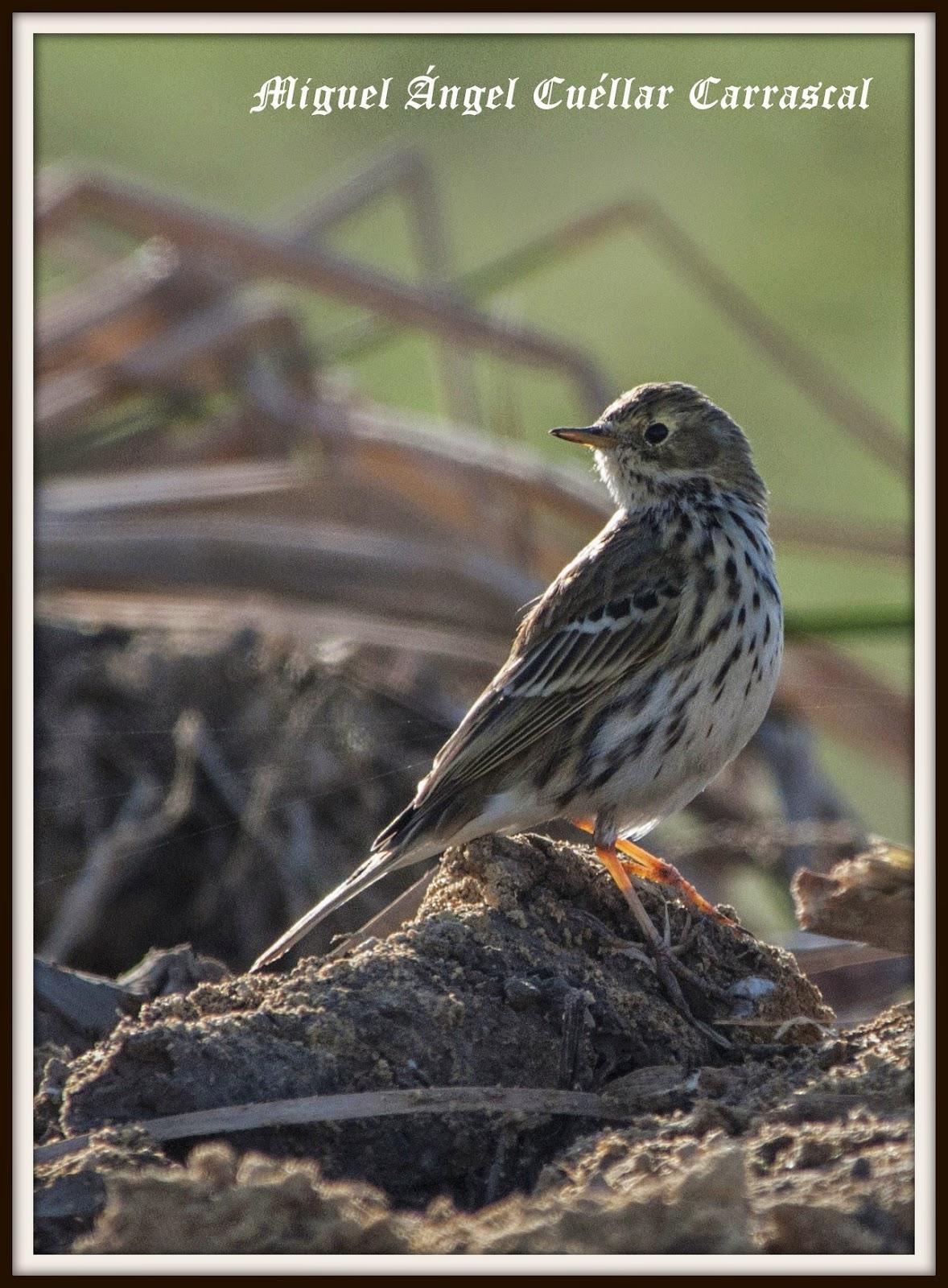 Excursiones para ver pájaros, primer trimestre de 2015. Grupo Local de Sevilla de SEO/BirdLife.