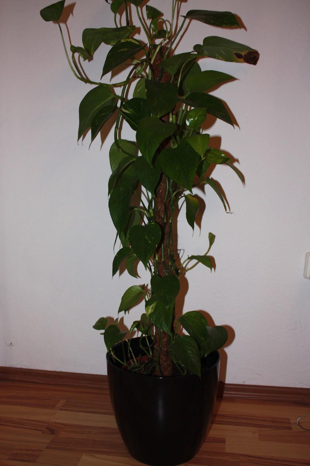ichliebeeinkaufen pflegeleichte pflanze f r zimmer mit wenig licht. Black Bedroom Furniture Sets. Home Design Ideas