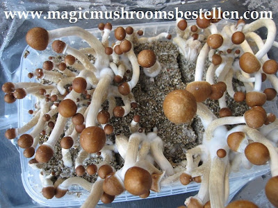 Zauberpilze Magic Mushrooms
