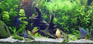 cara budidaya ikan,cara merawat ikan hias di akuarium kecil,cara memelihara ikan cupang hias,di aquarium,di kolam,air tawar,hias arwana,black ghost,