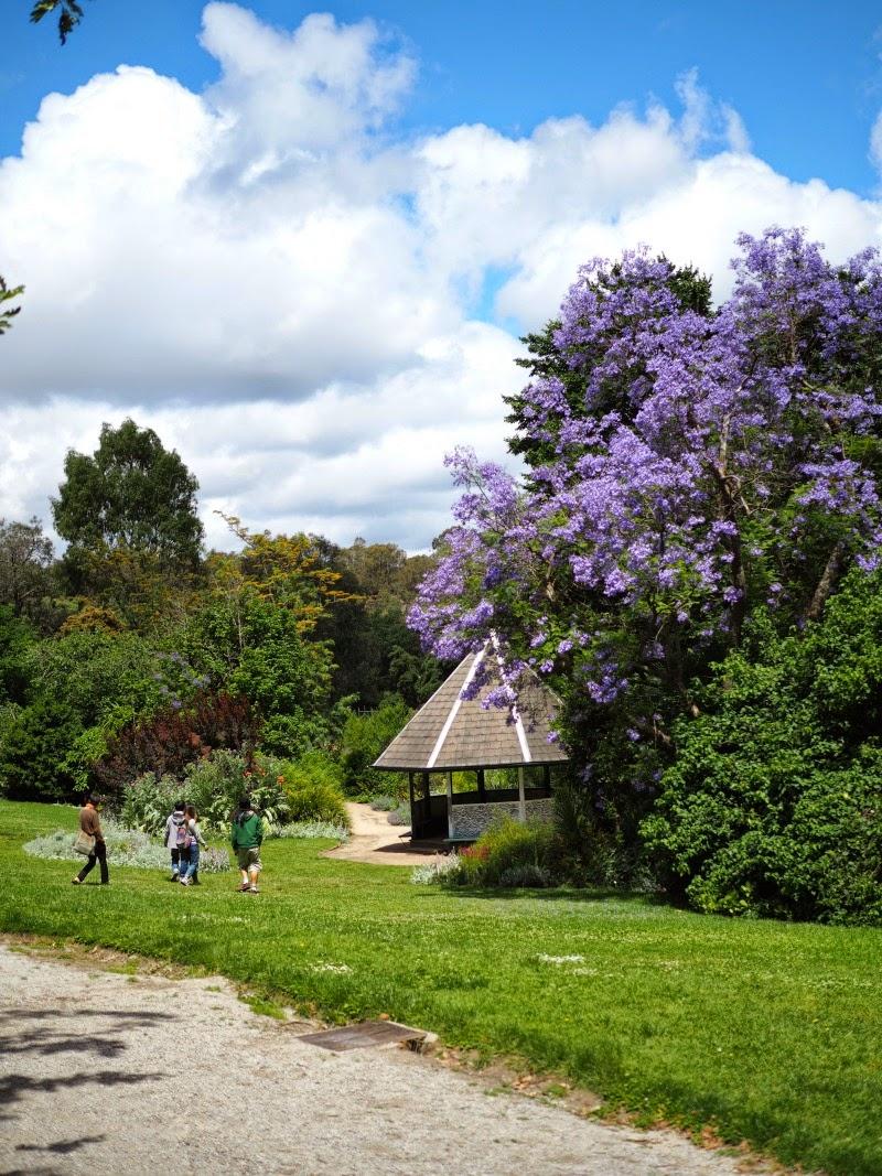 abbotsford convent, jacaranda