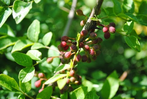 Benefits Of Prickly Ash (Zanthoxylum Americanum) For Health