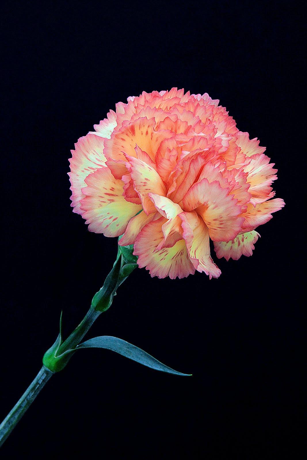 norfolk images gallery carnation dianthus caryophyllus. Black Bedroom Furniture Sets. Home Design Ideas