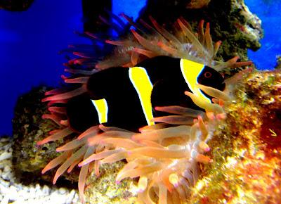 Clown fish animal unique for Clown fish scientific name