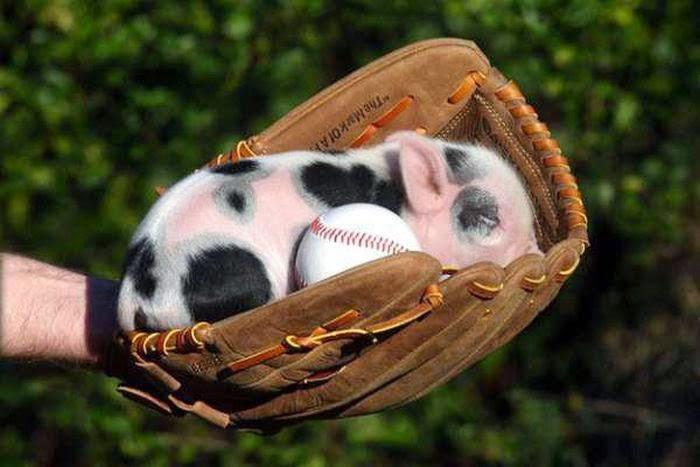 Coolest Pig Pets
