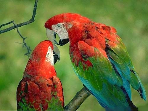 Gambar Burung Nuri Dunia Binatang