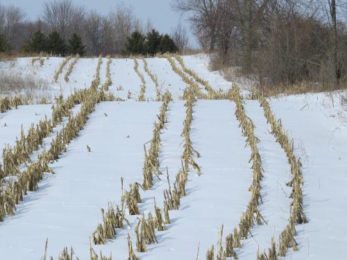 corn row stubble