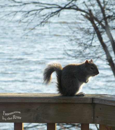 Grey squirrel along the Mississippi River