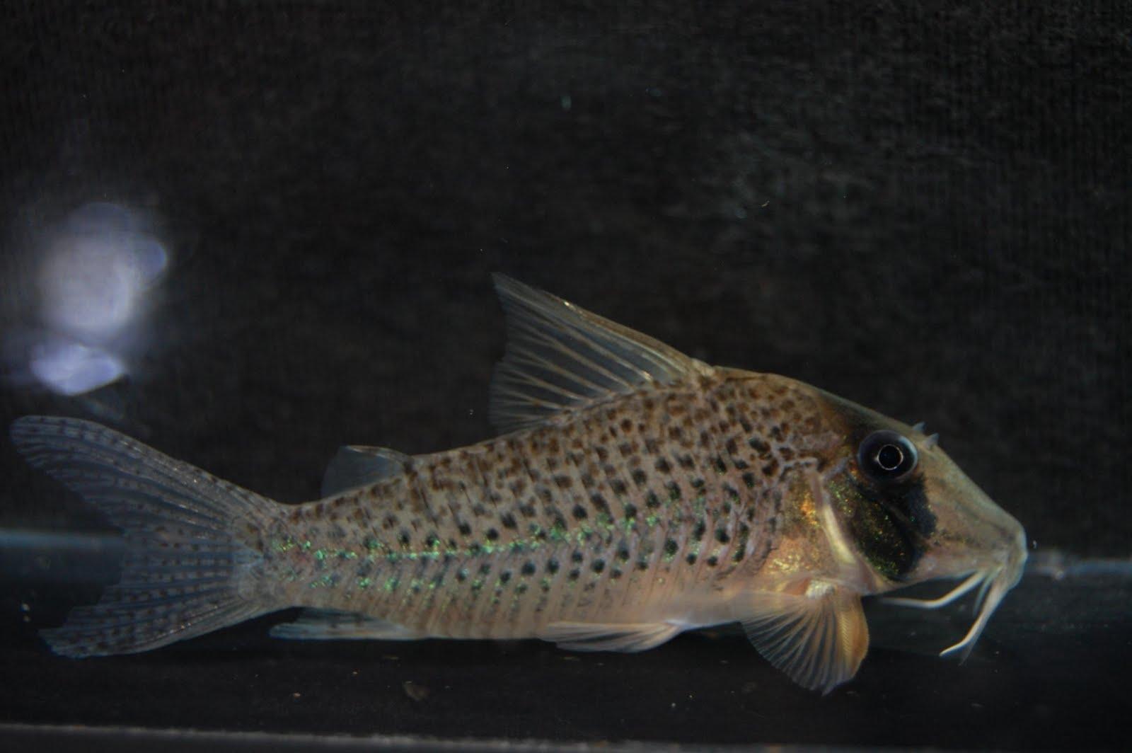 pier aquatics new arrivals corydoras sp c53  new arrivals c 53 #6
