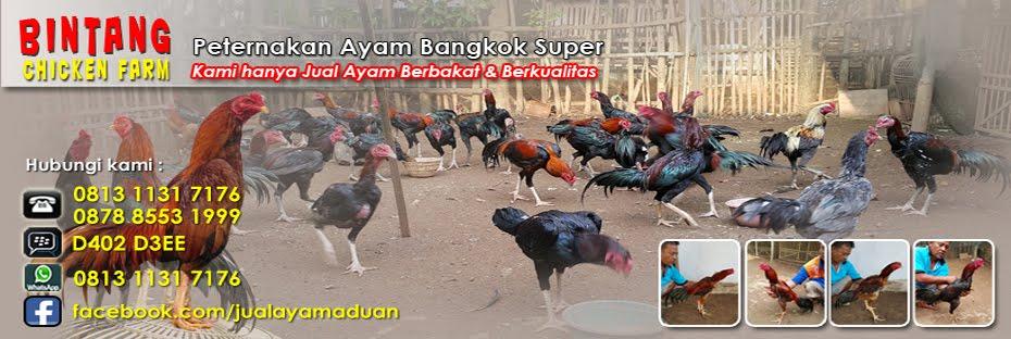 Jual Ayam Aduan Super | Ayam Bangkok Petarung | Bintang Chicken Farm