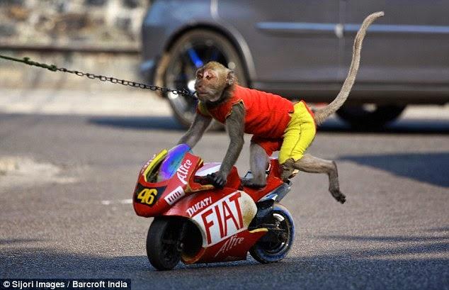 Monkey Riding Motorbike