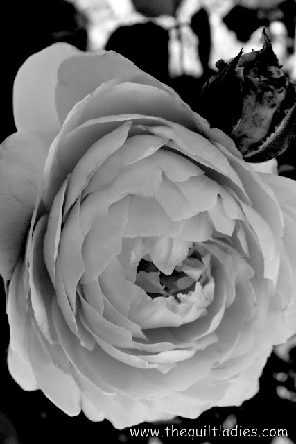 Bud and Rose in Black and White by Beth Ann Strub