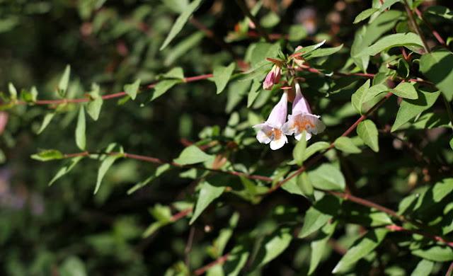 Abelia Parvifolia Flowers