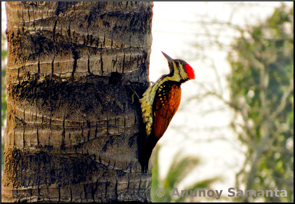 A Black rumped Flameback Woodpecker feeding on our Coconut tree