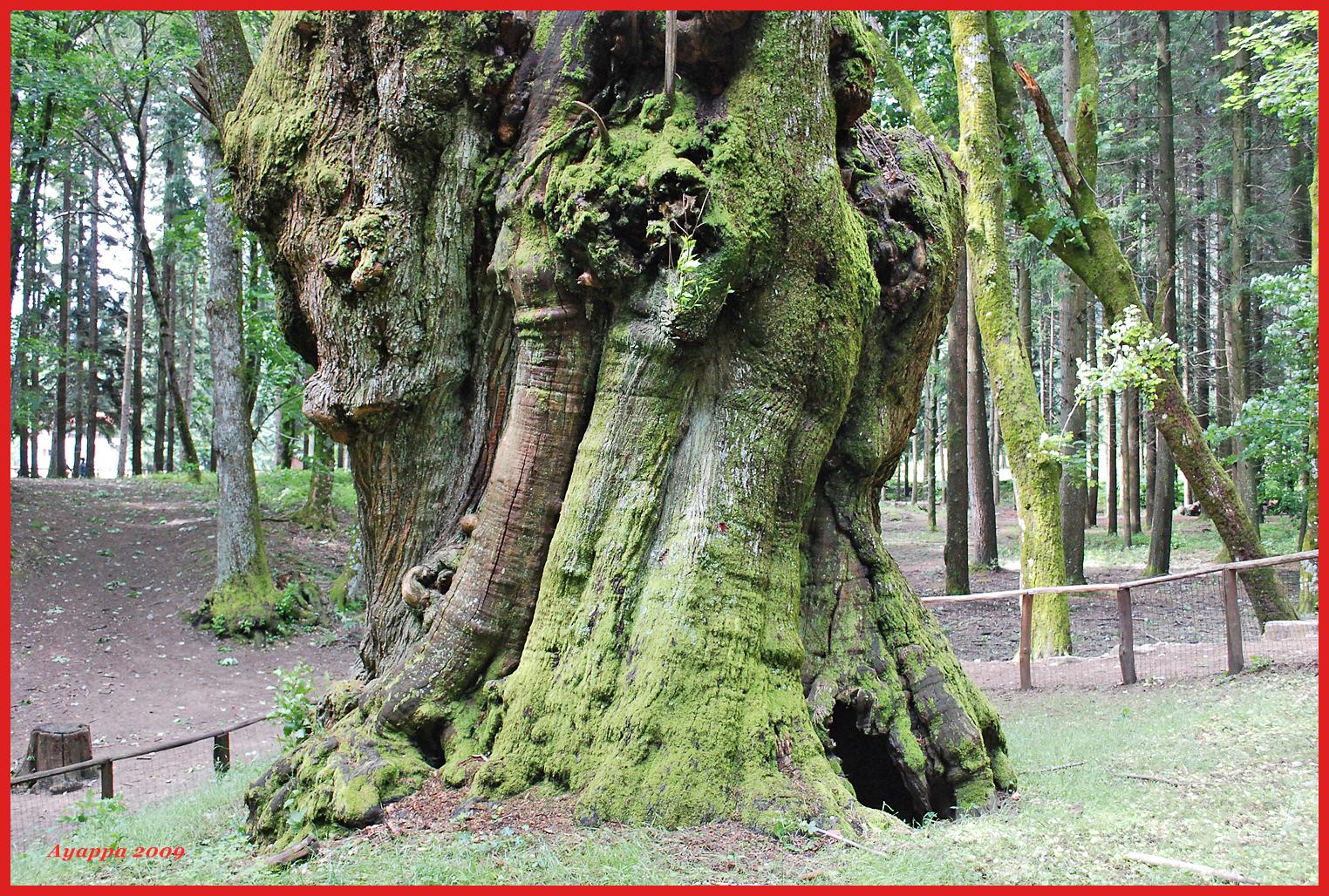 Alberi e dintorni gli alberi monumentali d 39 italia for Alberi alto fusto nomi