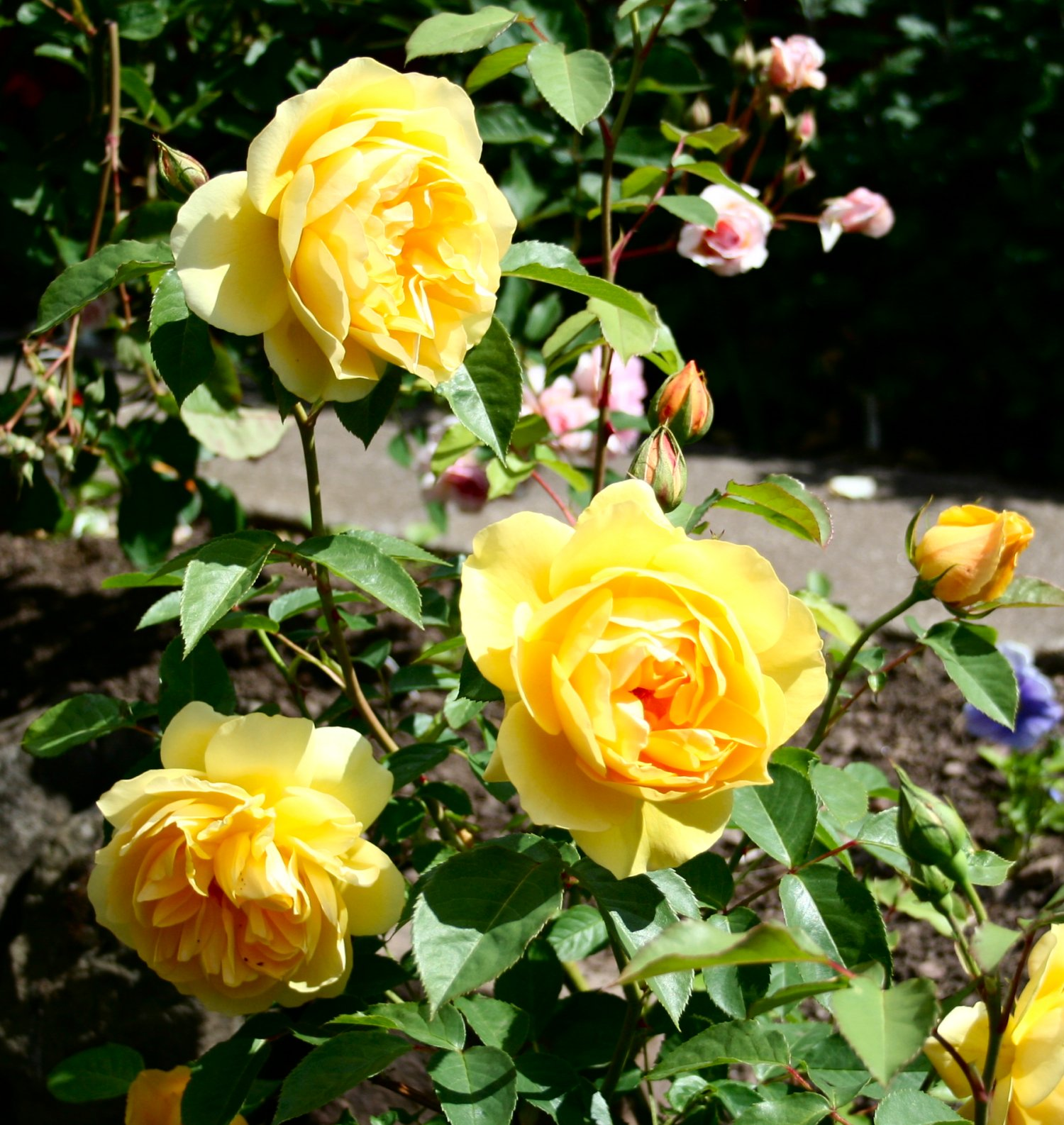 Yellow Rose Bush Shrub roses have developedYellow Rose Bushes Types