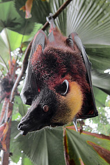 "Giant Golden Crowned Flying Fox ""AKA"" Golden Capped Fruit Bat"
