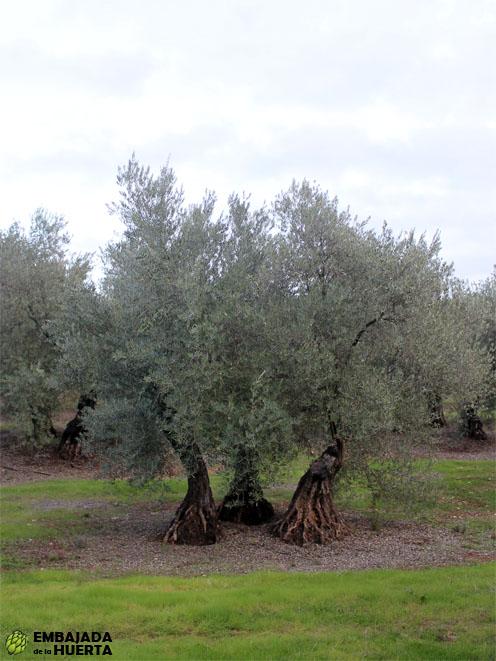 Olivos de tres pies variedad Picual