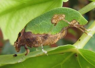 Insectos hoja - Orophus sp