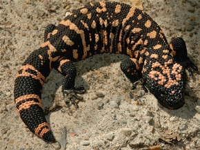 Gila Monster Animals | Interesting Facts & New Pictures ...