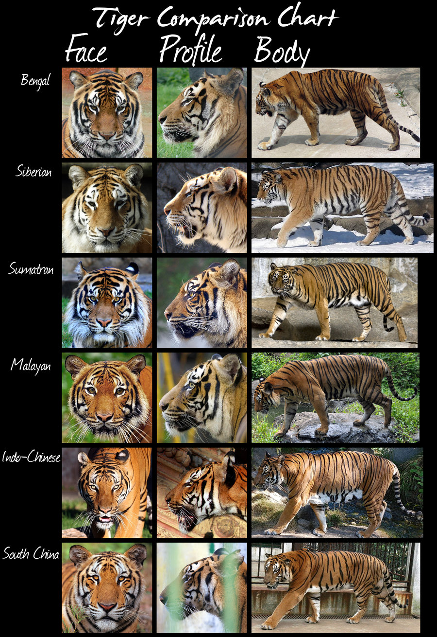 comparison of the tiger and the Transcript of the tyger by william blake compared to life of pi by yann martel  and a tiger as a symbol of evil in the world and in humanity  compare and .