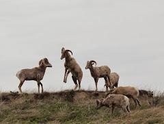 "BIGHORN SHEEP: a ""Bucket List"" biggie"