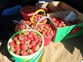 сбор ягод клубники