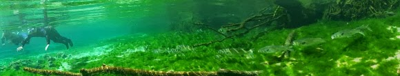 Schnorcheln mit Manatees im Crystal River, Florida USA