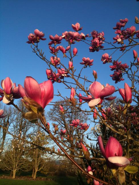 magnolia denudata, forest pink, cedar creek oregon