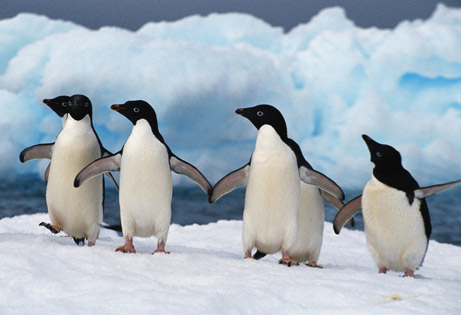 Emperor penguins get so hot in their   Daily Mail Online