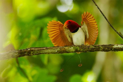 Cendrawasih Raja Atau Dalam Nama Ilmiahnya Cicinnurus Regius Adalah Burung Pengicau Anggota Famili Paradisaeidae Burung Cendrawasih Yang Panjang Tubuhnya