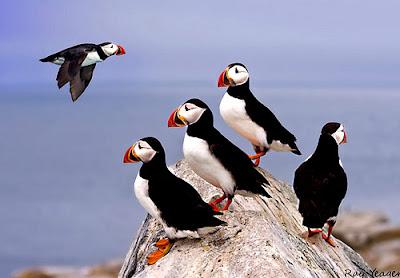 Chim hải âu rụt cổ, ảnh đẹp chim hải âu rụt cổ