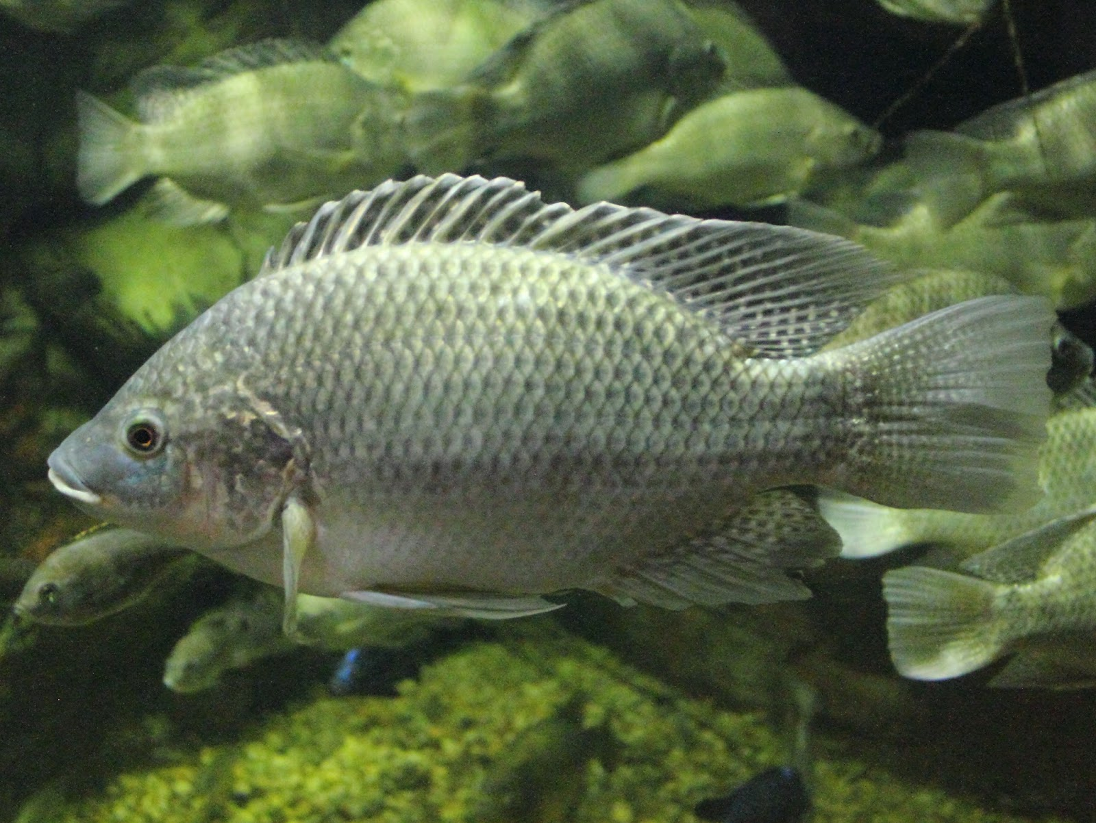 Fish index mozambique tilapia oreochromis mossambicus for What is tilapia fish